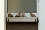 nid de faucons crécerelles à Paris