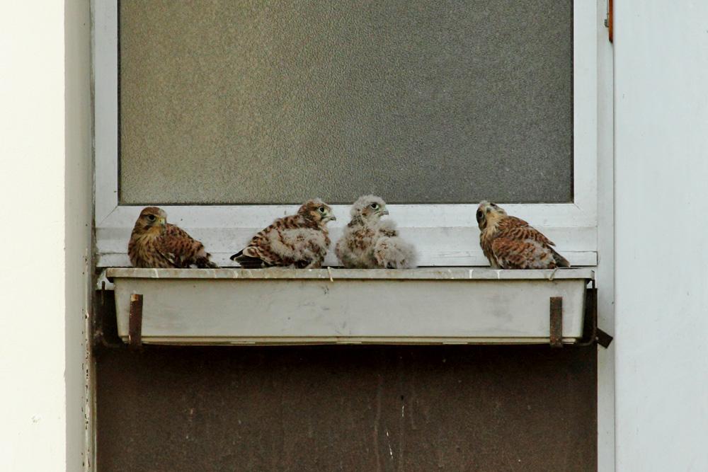 nid de crécerelles
