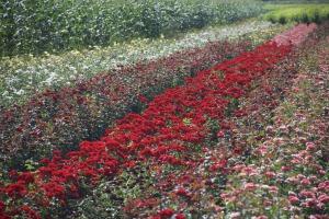 Les clients de l'entreprise Ciumbrud Plants peuvent admirer les roses dans un champ.  © Pétronille Tofidji